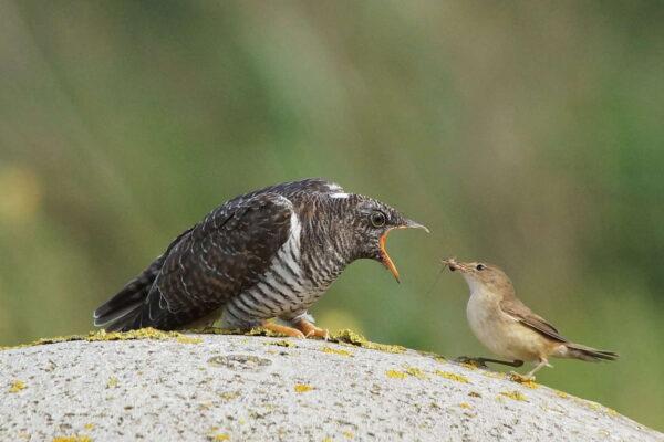 Door de Nederlandse landbouw is de koekoek een kwetsbare vogel op de rode lijst geworden.